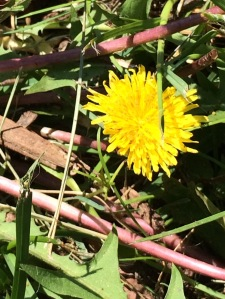 Weeds - Dandelion